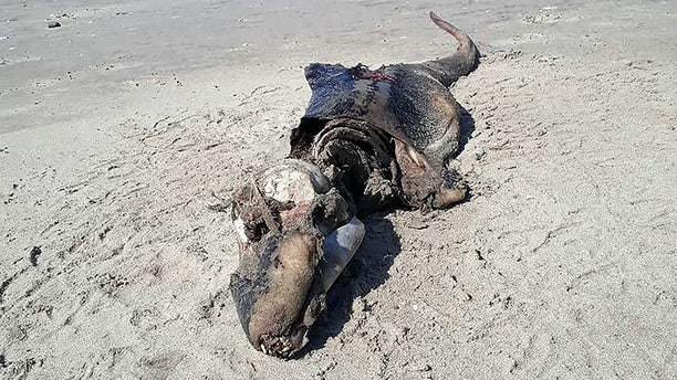 A mystery sea creature was found washed up on a British beach - baffling experts as to what it may be.   The five-ft long carcass of the alien-like creature was discovered washed up on sand by dog walker Beth Jannetta, 41.   Beth snapped the mystery monster - which has a long head, giant jawline and slender tail - and passed on her pictures to experts.   But marine boffins are unable to identify the creature - but say it could be a type of whale, dolphin, or porpoise.    WALES NEWS SERVICE
