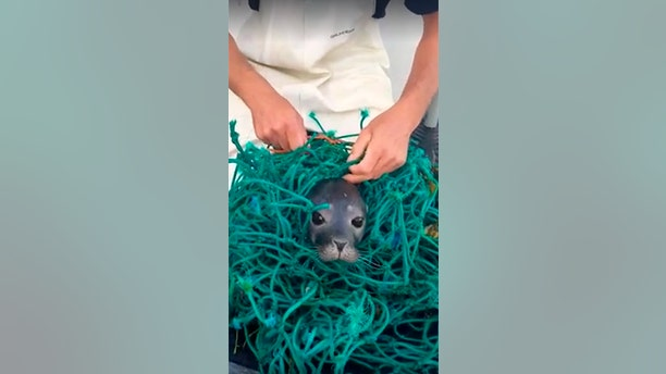 A seal pup was rescued from a tangle of nets by two lobstermen off the coast of Maine.