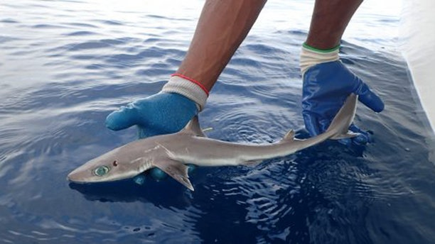 An adult Squalus clarkae found in the waters off Belize. (Credit: MarAlliance)