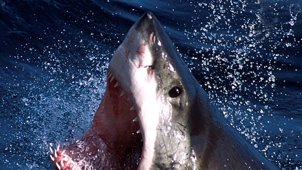 A great white shark named Hilton was spotted in the Gulf of Mexico just west of the Florida Keys this week.