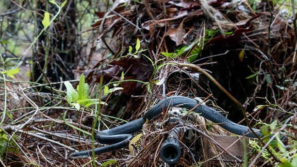 A southern black racer snakes slithers across a sniper's rifle.