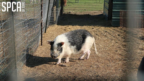 Six pigs were found confined to a tiny wired pen without access to nourishment.