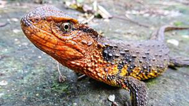 The Vietnamese crocodile lizard is one of 115 new species discovered in the Greater Mekong (© Thomas Ziegler)