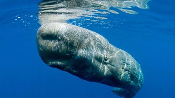 A sperm whale.