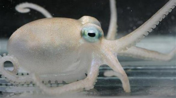 An Adelieledone polymorpha, one of the four new species of octopuses that researchers have discovered in Antarctica that come replete with anti-freeze venom.
