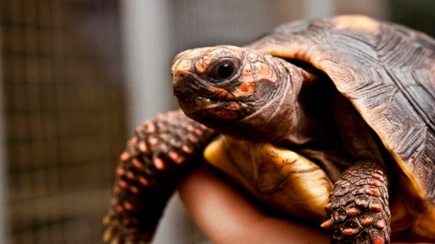 Tortoises aren't slow when learning to use touch screens.