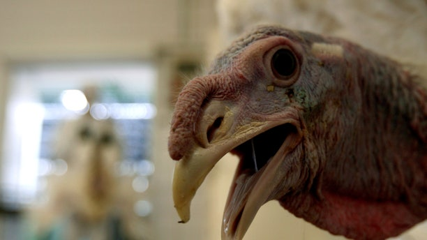 A turkey is seen at a slaughter house in Dabas, 35 km (22 miles) south of Budapest, February 13, 2007. Hungary's animal health authorities have found no evidence that could show poultry or poultry products from Hungary could have transmitted the H5N1 bird flu virus to Britain, Chief Veterinarian Miklos Suth said.