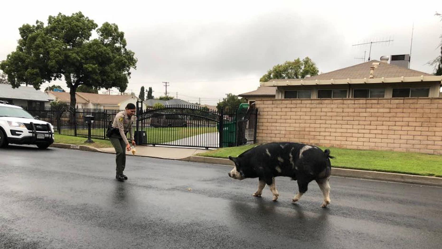 Deputies in San Bernardino, California lured a pig back home with a trail of Doritos.