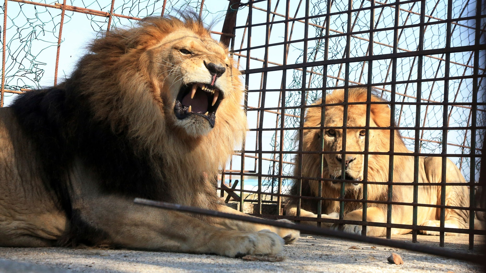 Lions sit in their cage at Safari Zoo Park in Mbrostar, about 100 kilometers (60 miles) south of Tirana, Thursday, Oct. 18, 2018. Albanian authorities have temporarily blocked the operation of the private zoo park, after the malnourishment of some lions and zebras. (AP Photo/Hektor Pustina)