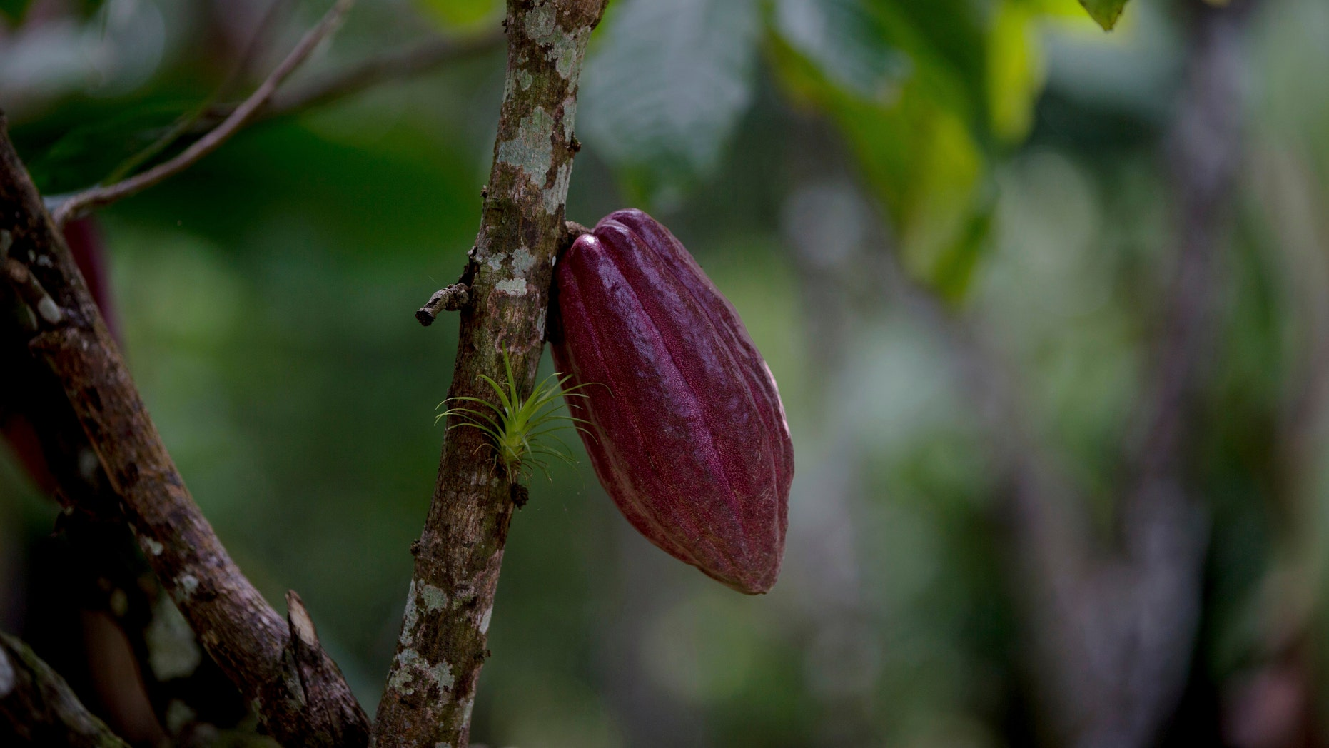 In this April 16, 2015 file photo, a cacao pod hangs from a tree at the Agropampatar chocolate farm co-op in El Clavo, Venezuela. (AP Photo/Fernando Llano)