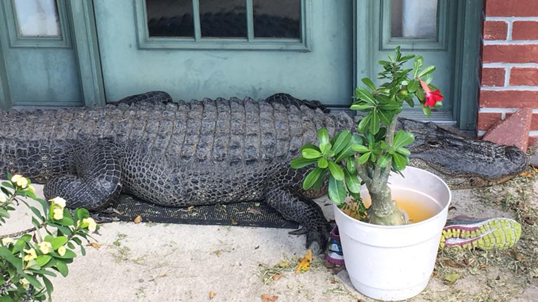 A large alligator was spotted outside a Louisiana home last week, deputies say.