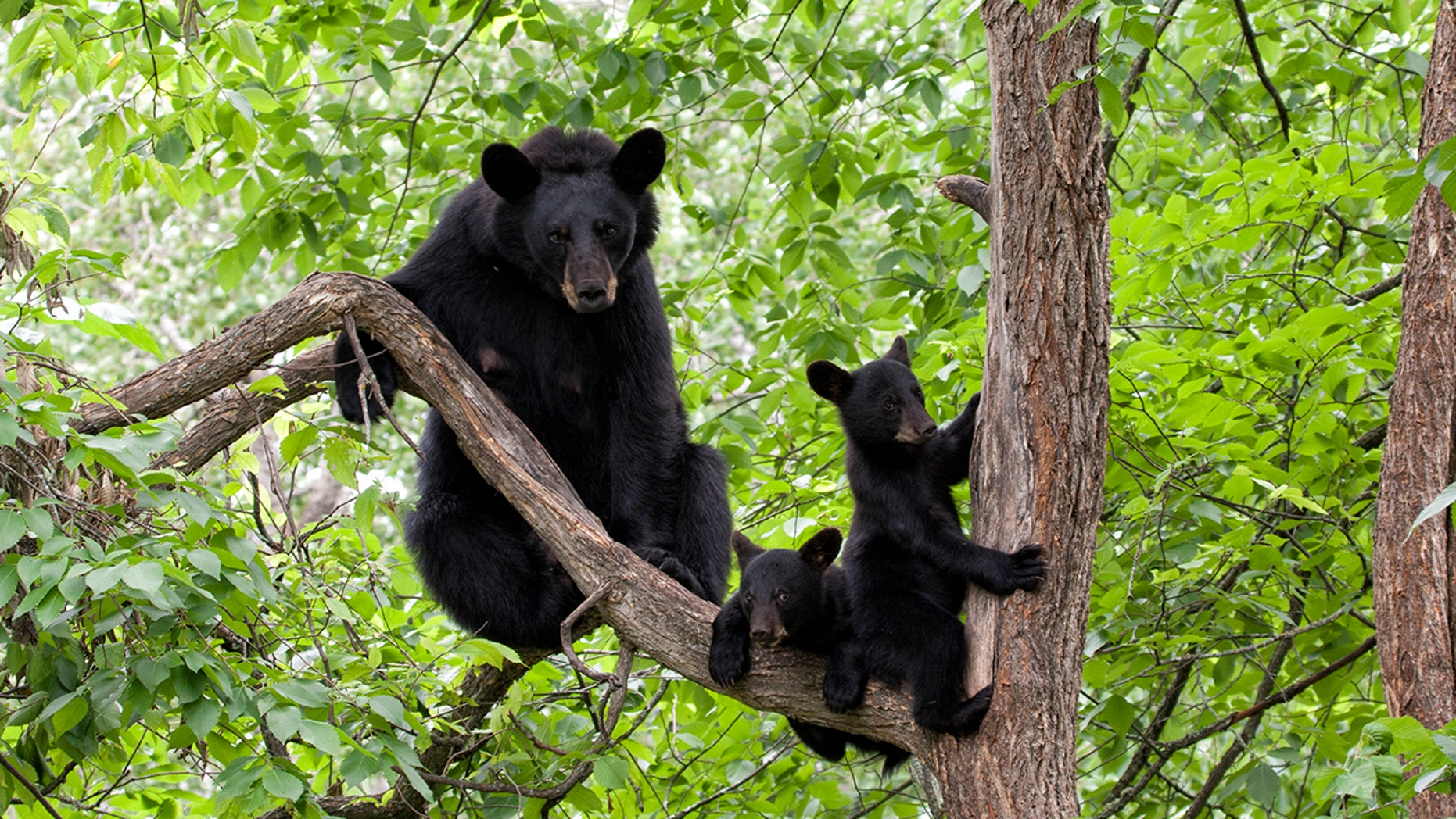 The bears likely climbed the tree because they were frightened, a wildlife official said.