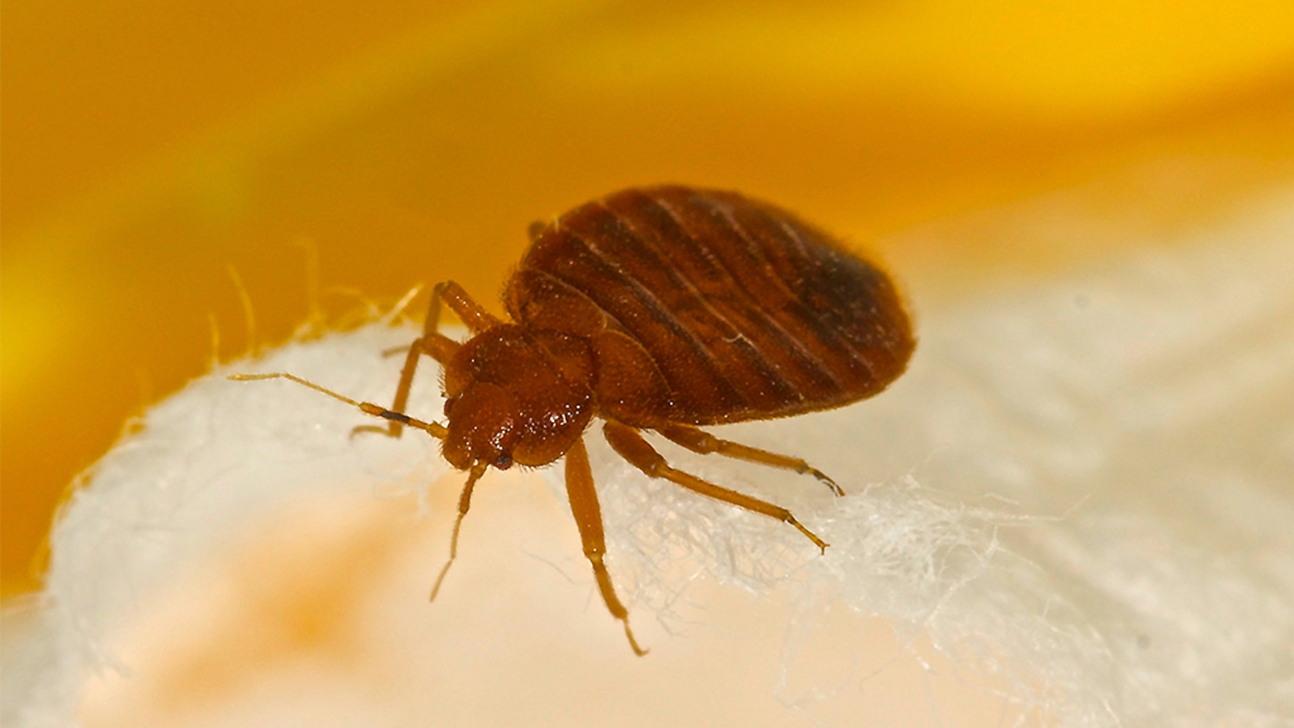 Bed Bugs In Ohio Reach Epidemic Levels Exterminators Say Fox News