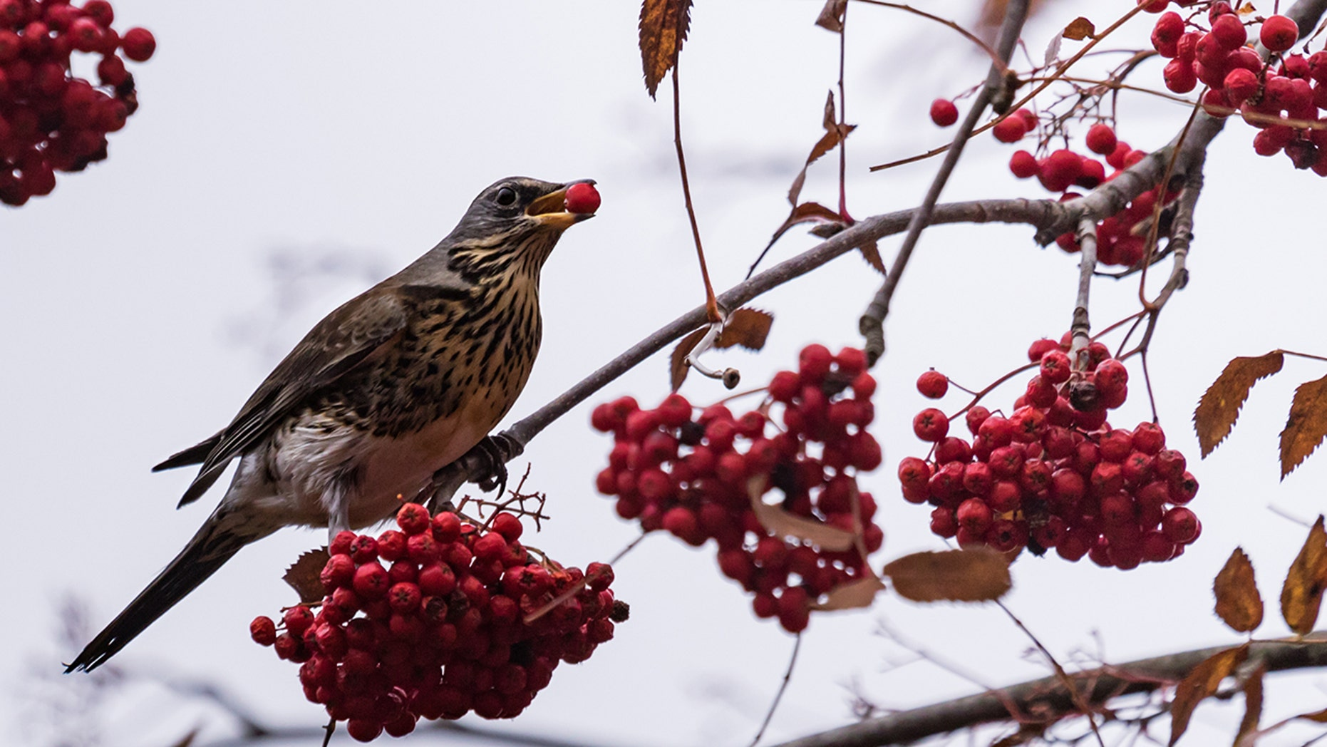 Minnesota Birds High on Fermented Berries Terrorize Small Town