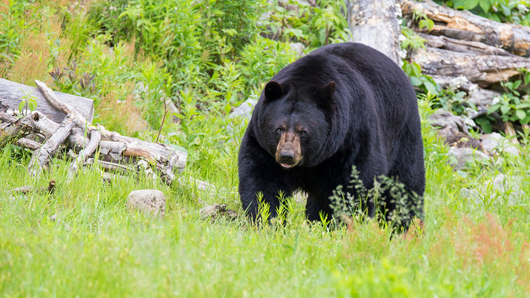 Image result for black bear pictures