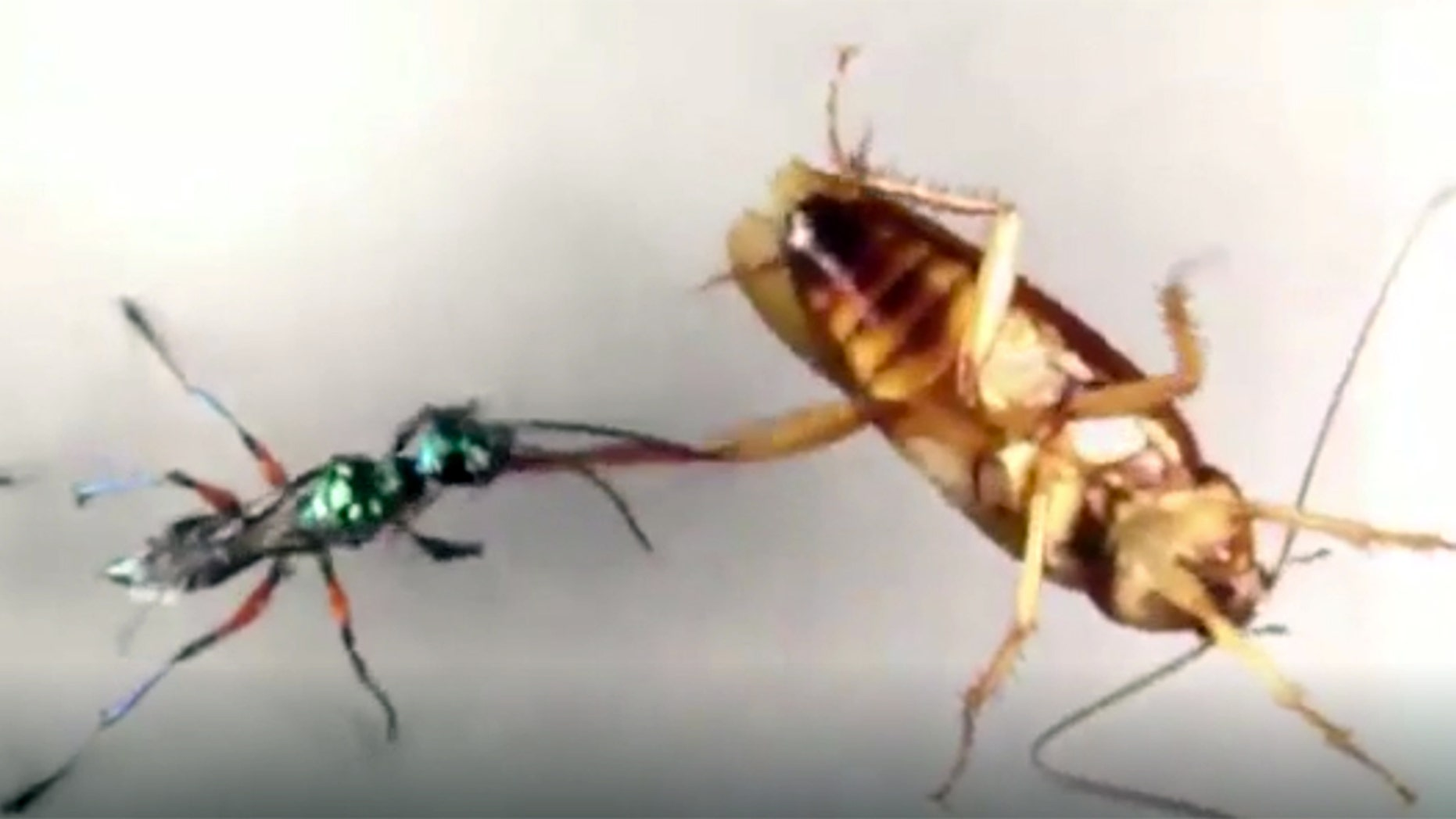 Professor of Vanderbilt University, Ken Catania, examined how American cockroaches can successfully fend off Emerald Jewel Wasps.