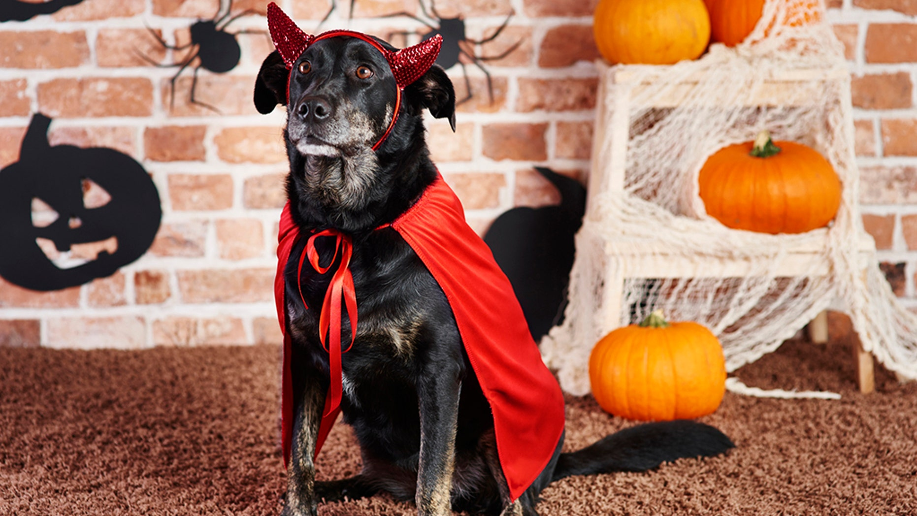 Have fun with your pet this Halloween by dressing them in a costume.