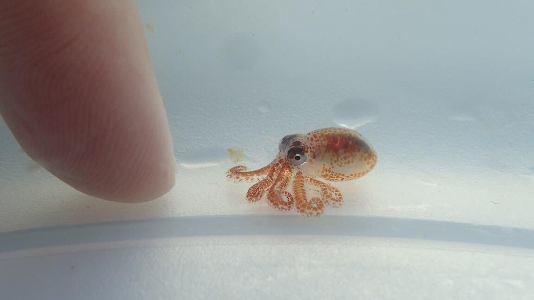 Two tiny octopuses were discovered floating on trash off the coast of Hawaii in August.