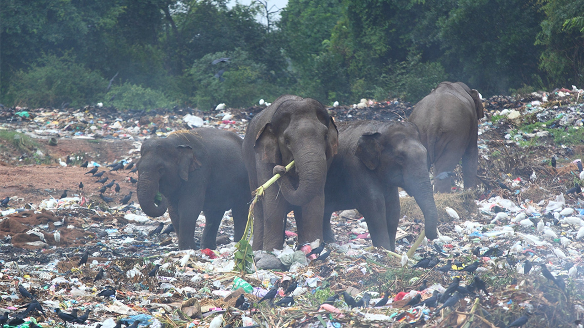 Group of wild elephants looking for banana trees in the middle of dumping ground (Sri Lanka, Trincomalee)