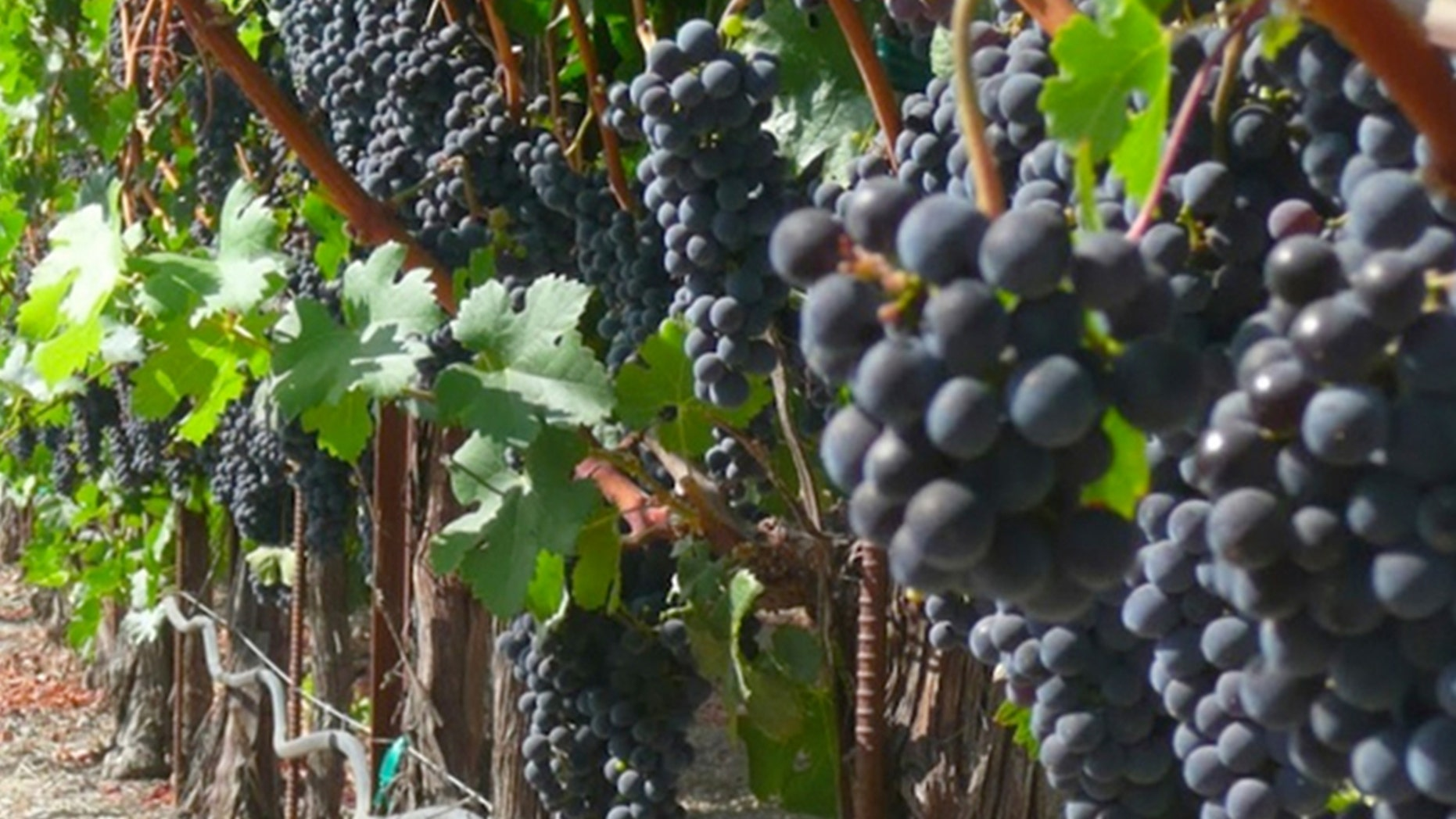 A Napa Valley worker was killed Monday after getting dragged into a harvesting machine.