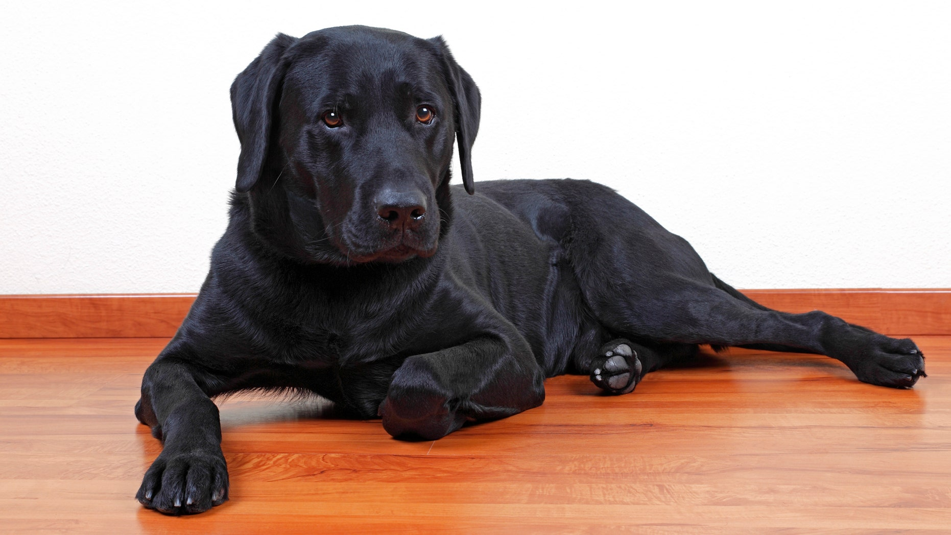File photo - black Labrador Retriever dog.