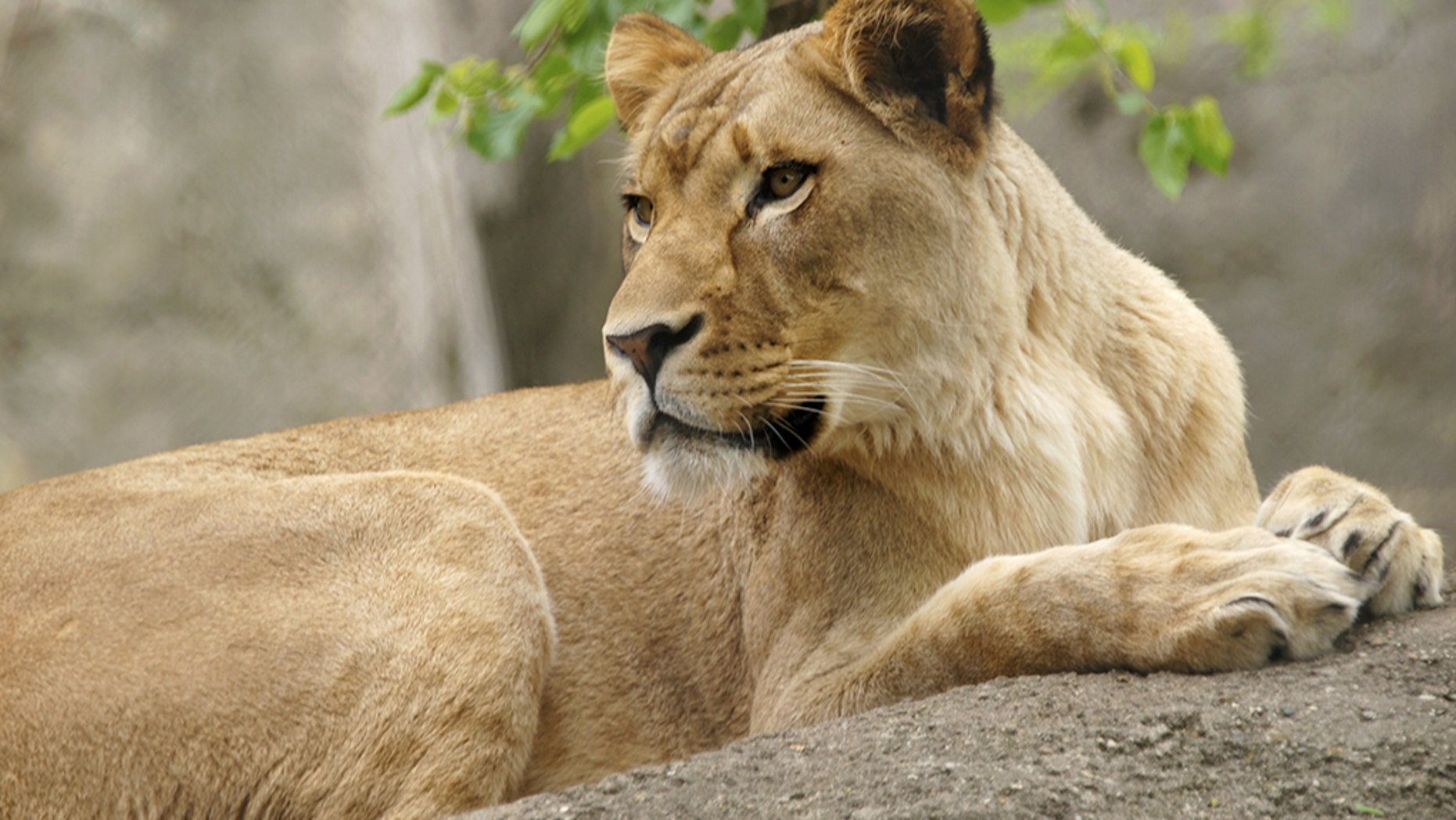 Lioness kills father of her cubs at zoo