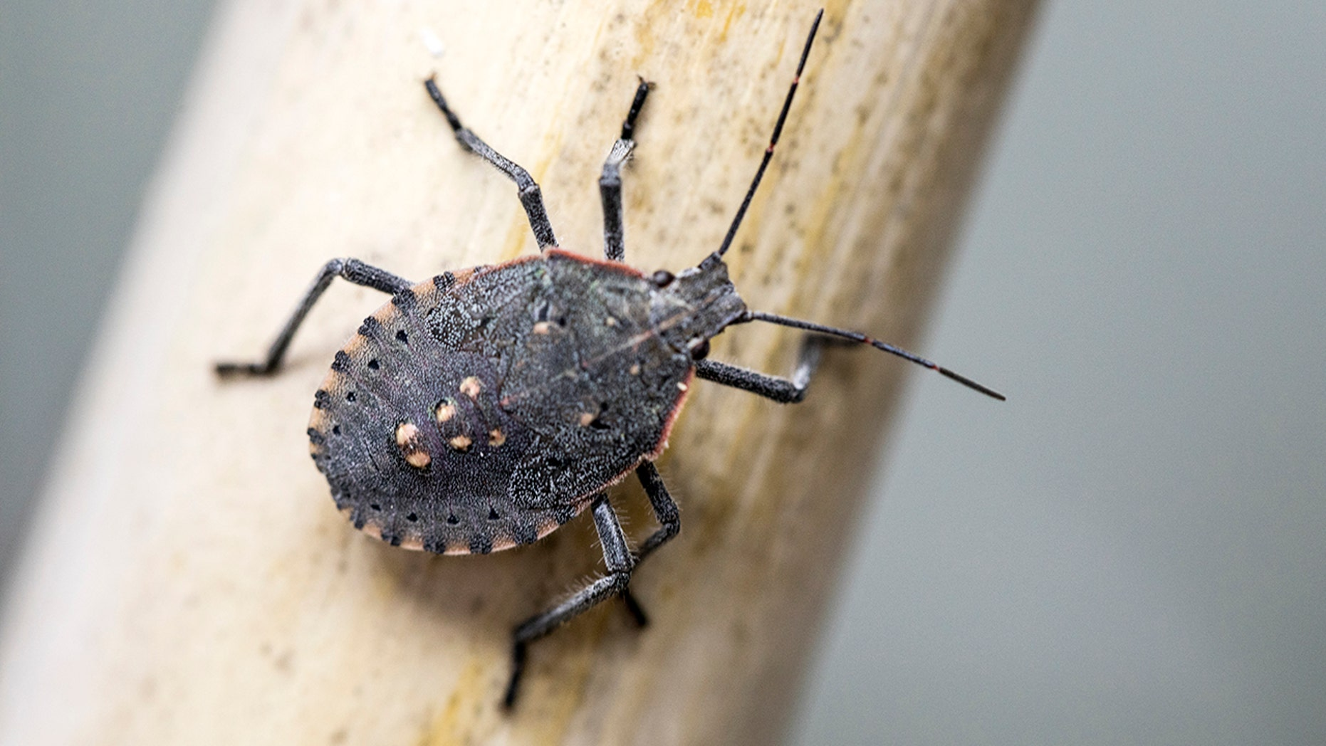 The brown marmorated stink bug releases a foul odor when threatened.