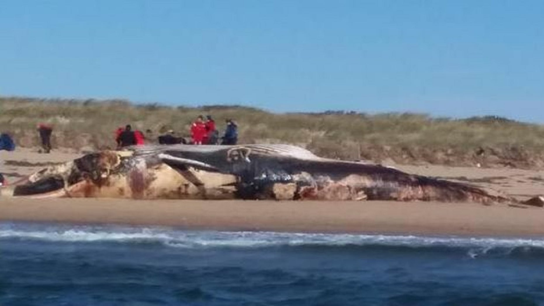 A well-known whale washed ashore on a Cape Cod beach.