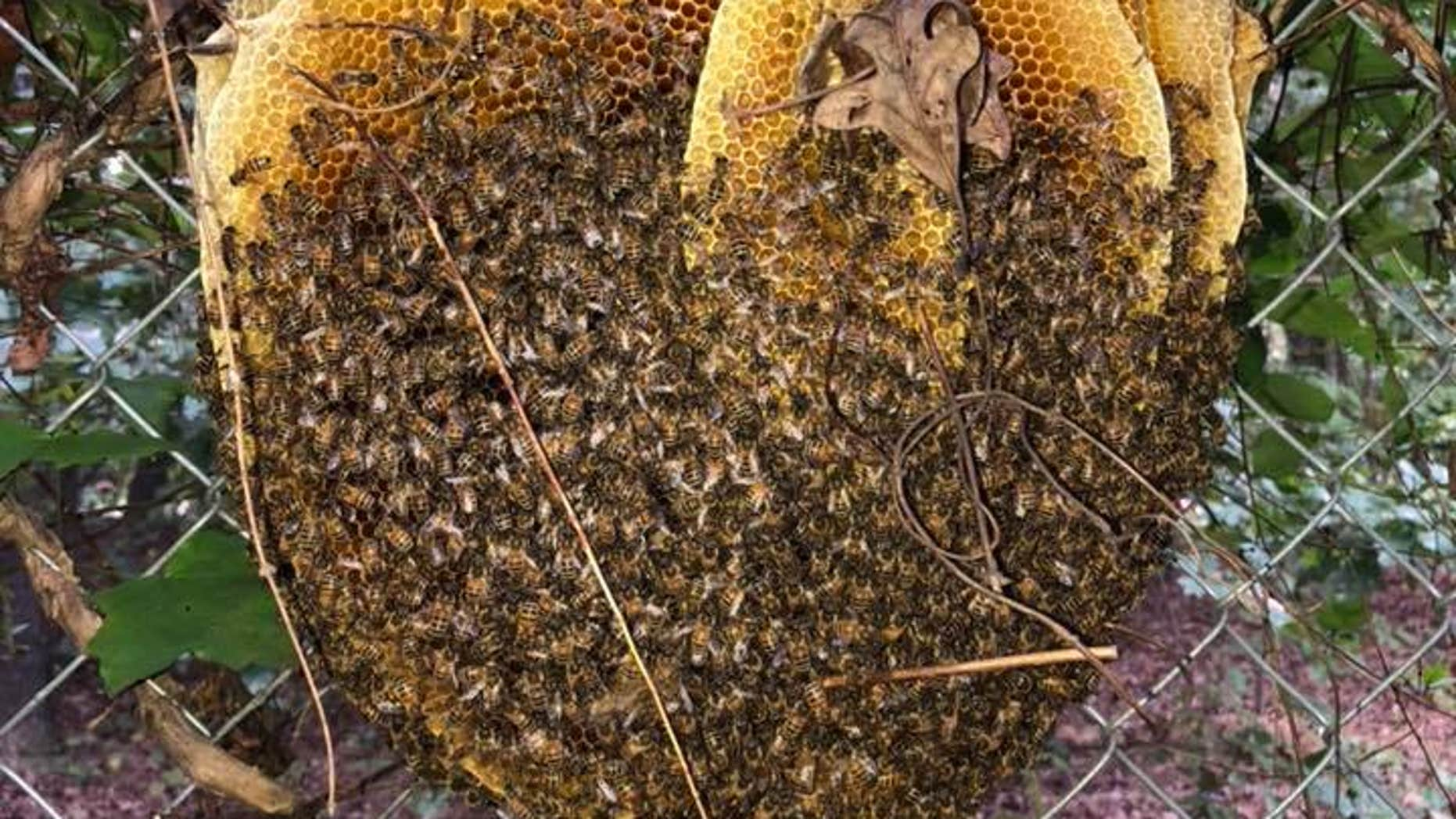 """A church maintenance worker stumbled upon a massive """"open"""" beehive outsideVictory Tabernacle Church of God in Midlothian, Virginia."""