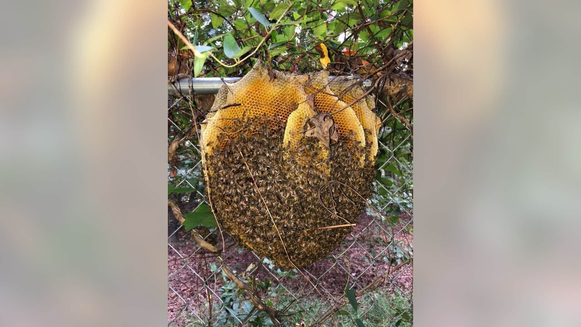 Extremely rare 'open' beehive in Virginia stuns wildlife expert | Fox News