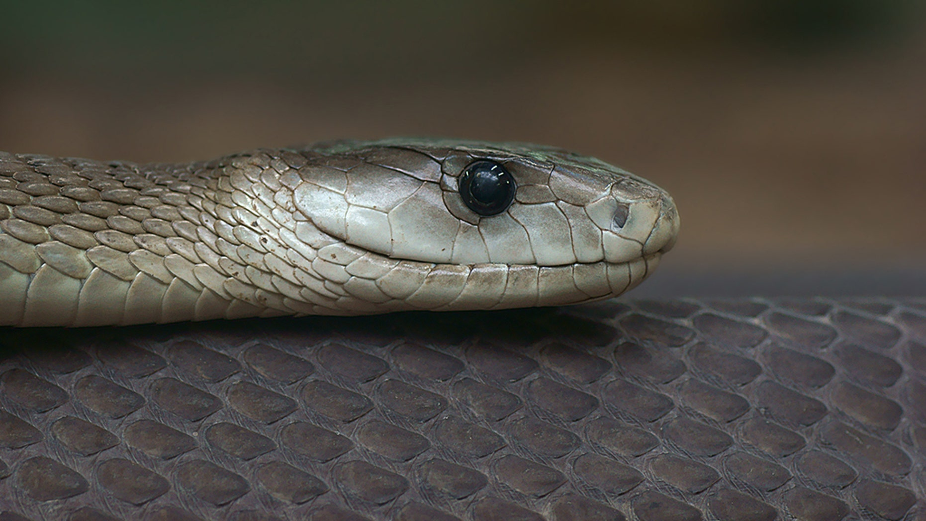 Indianapolis Zoo To Add Black Mamba World S Deadliest Snake To