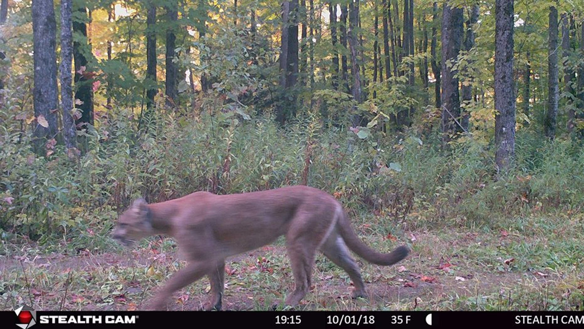 Cougars are an endangered species in the state, the DNR said.