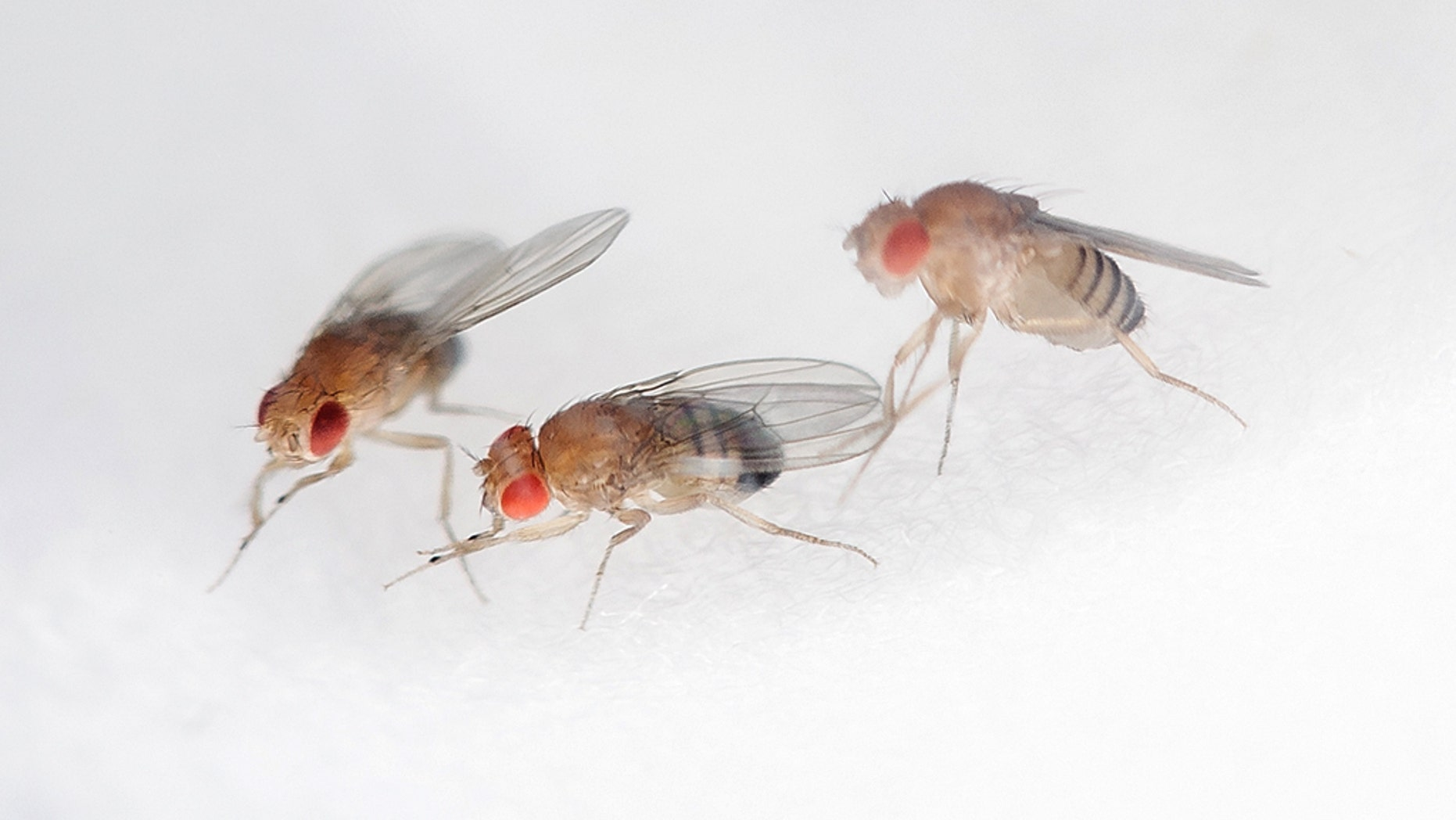Fruit flies breed in drains, garbage disposals, and other moist areas.