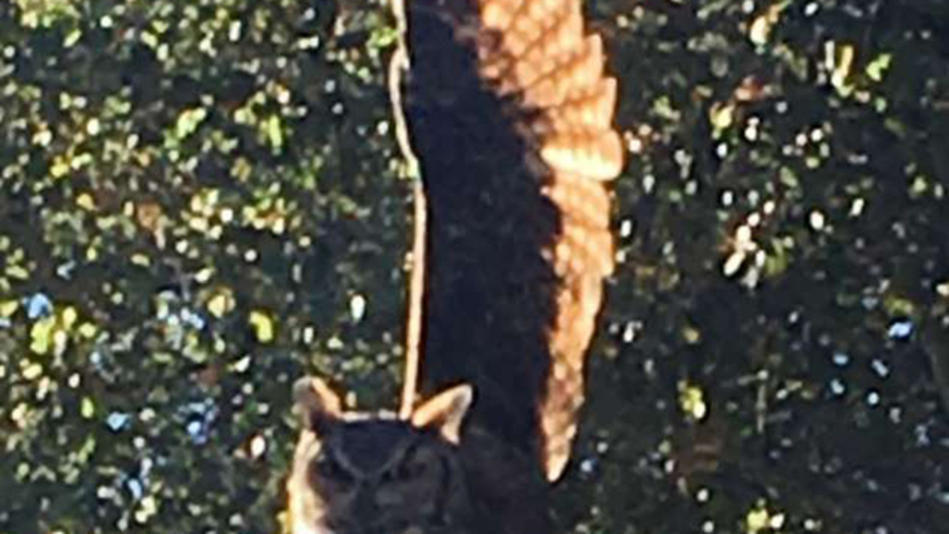 A great horned owl became ensnared in a kite string and needed rescuing in Woodside, Calif., on Monday.