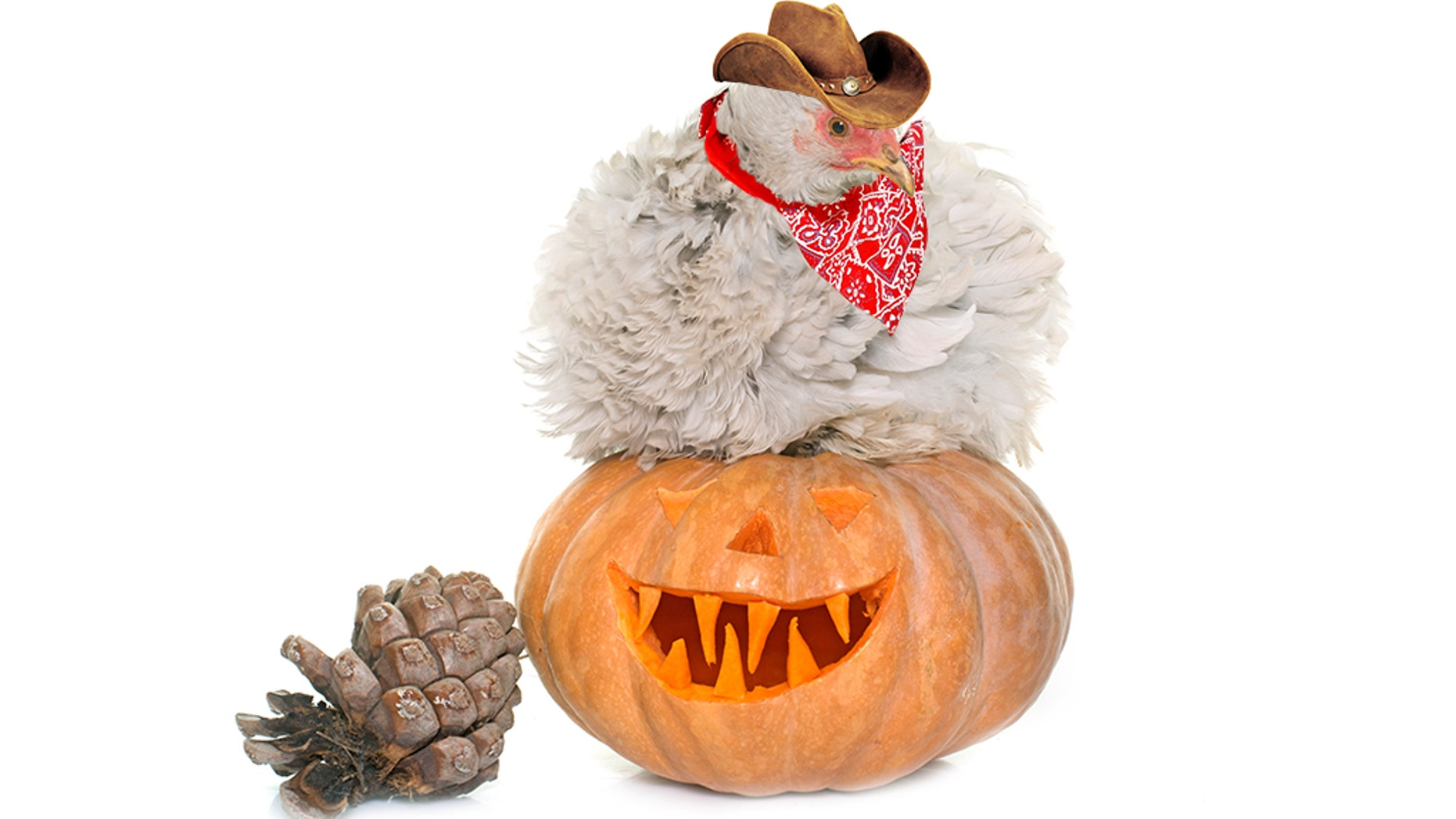 The Atlanta-based CDC said costumed chickens for a night of trick-or-treating this Halloween run radiate the risk of infecting people with a particularly strong strain of salmonella.