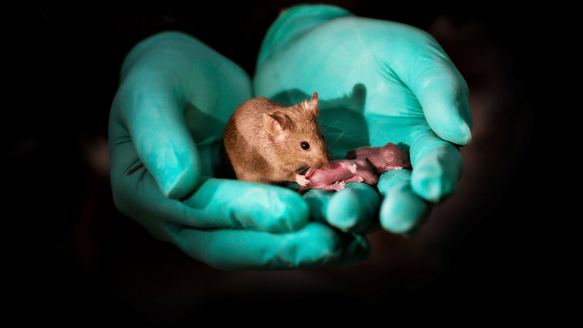 This image shows a healthy adult bimaternal mouse (born to two mothers) with offspring of her own. (Credit: SWNS)