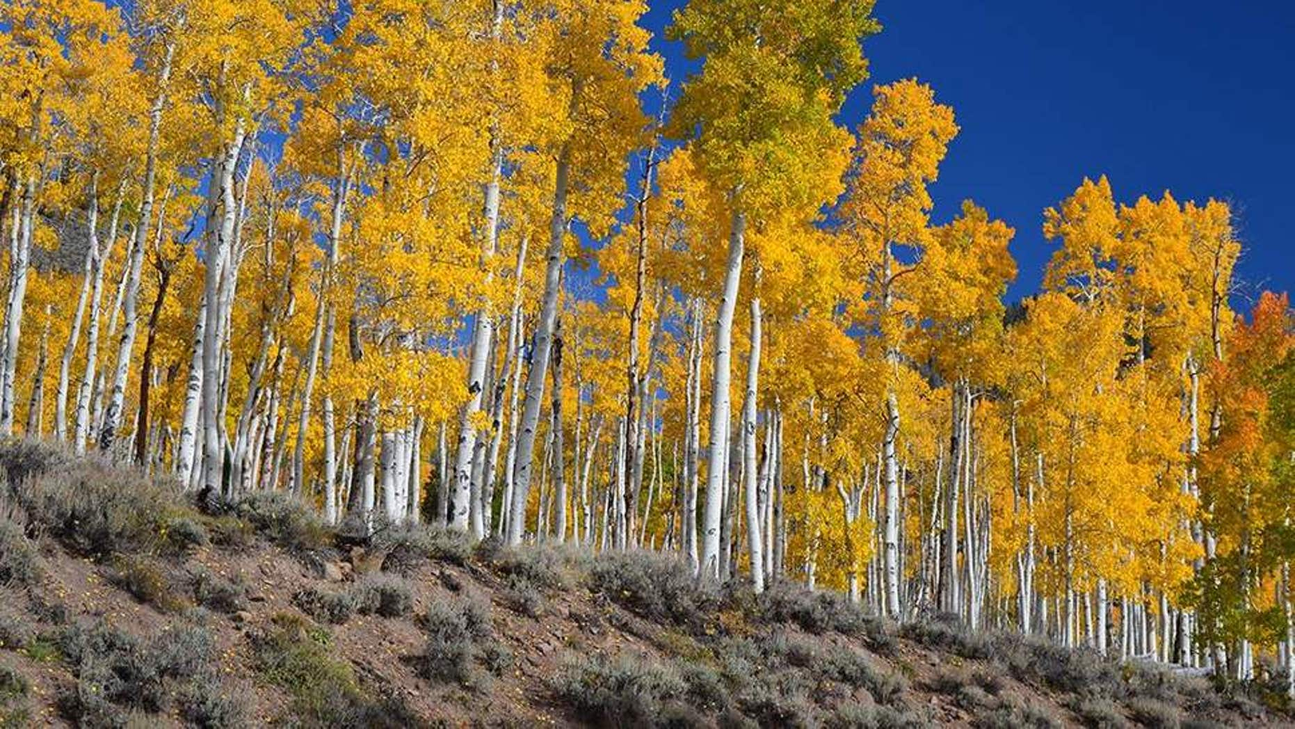 Humans are Slowly Killing the World's Biggest Organism Pando