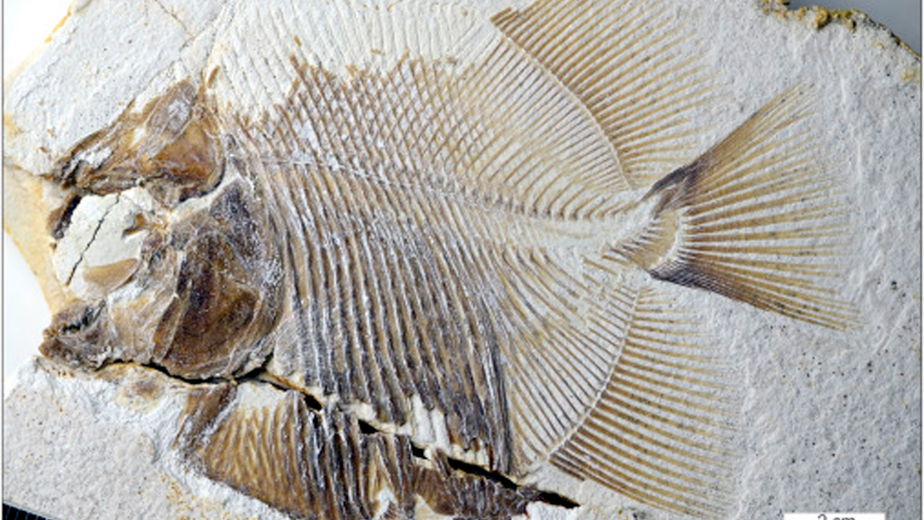 Fossil of piranha-like fish discovered in southern Germany