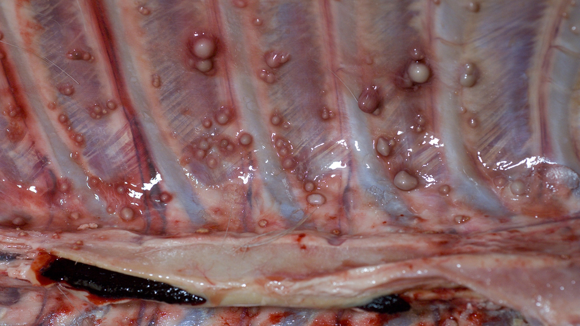 The rib cage of a deer infected with bovine tuberculosis.