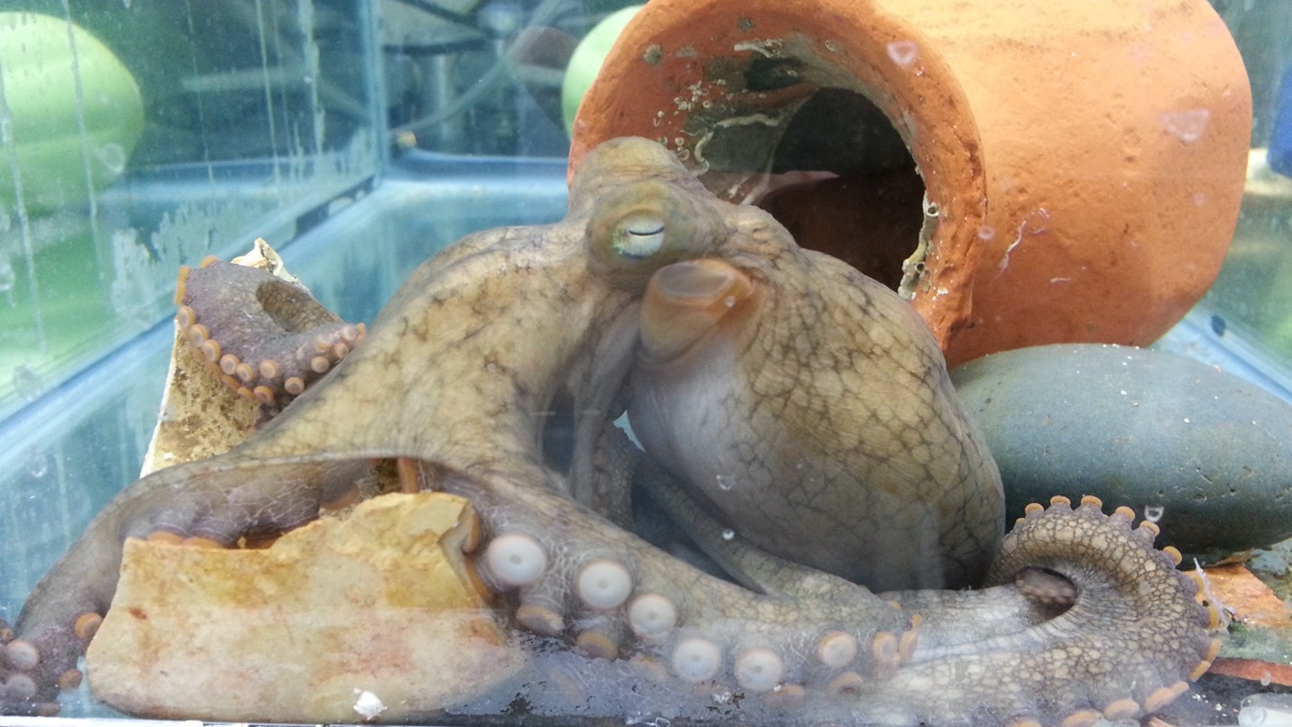 The researchers studied the California two-spot octopus, finding certain molecular pathways in the optic gland played a role in a new mother's suicide mission.