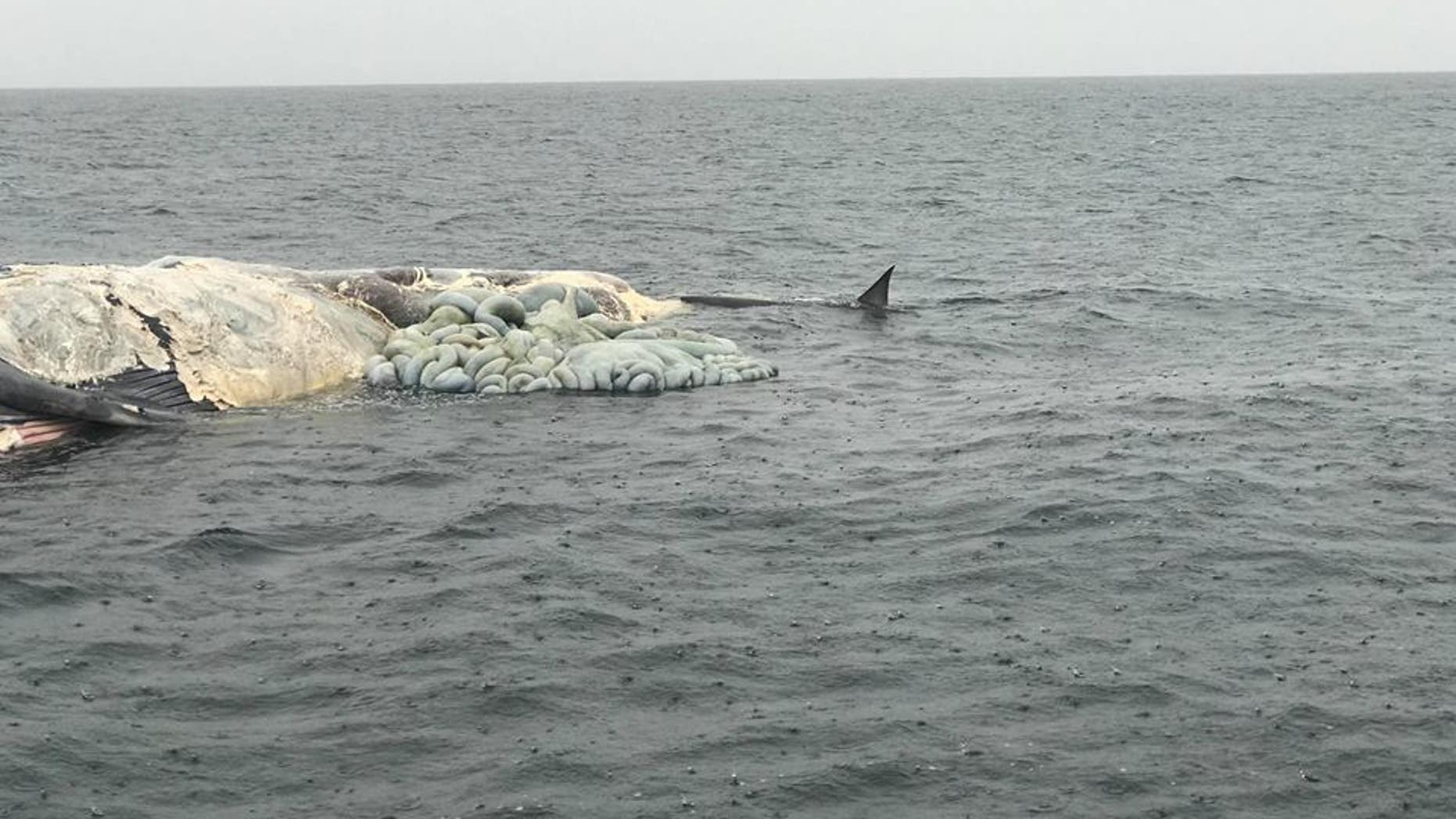 While not definitive, Carter said the carcass might have been that of a fin or sei whale.