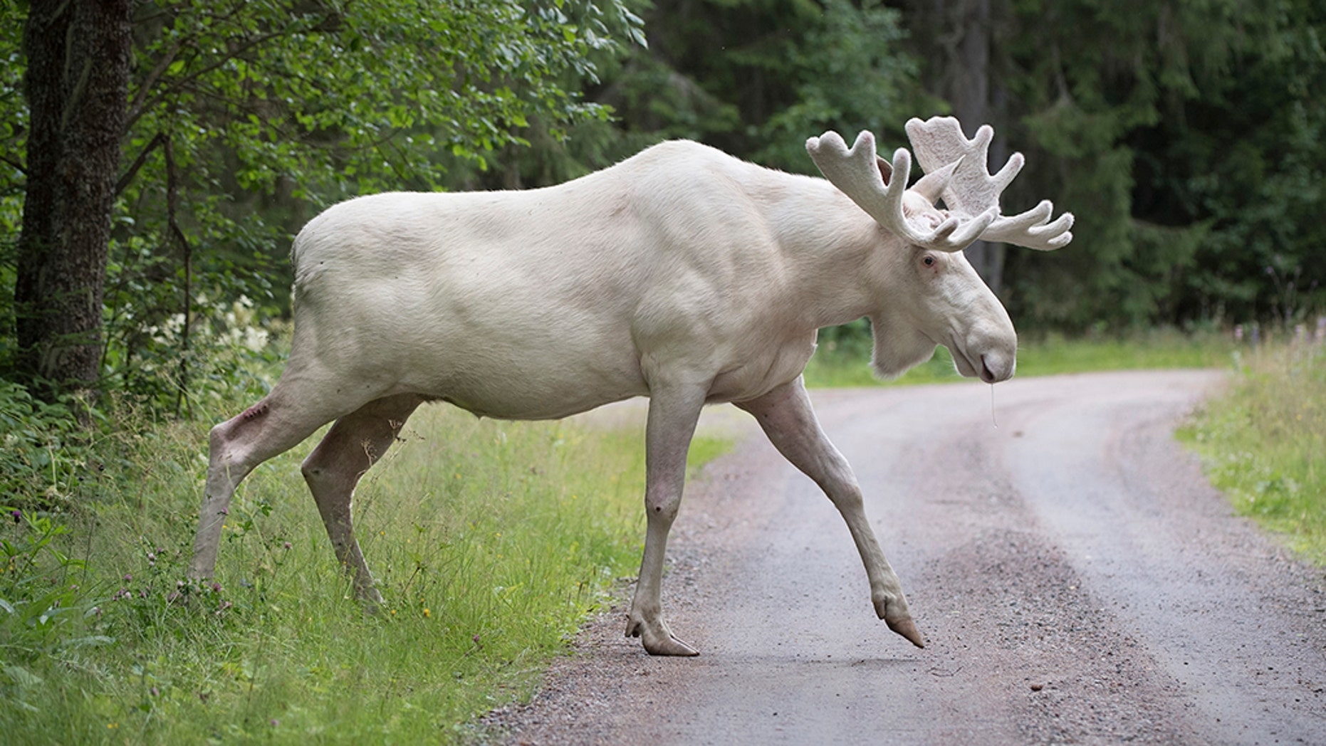 Moose that are more than 50 percent white are protected by the 1997 Fish and Wildlife Conservation Act.