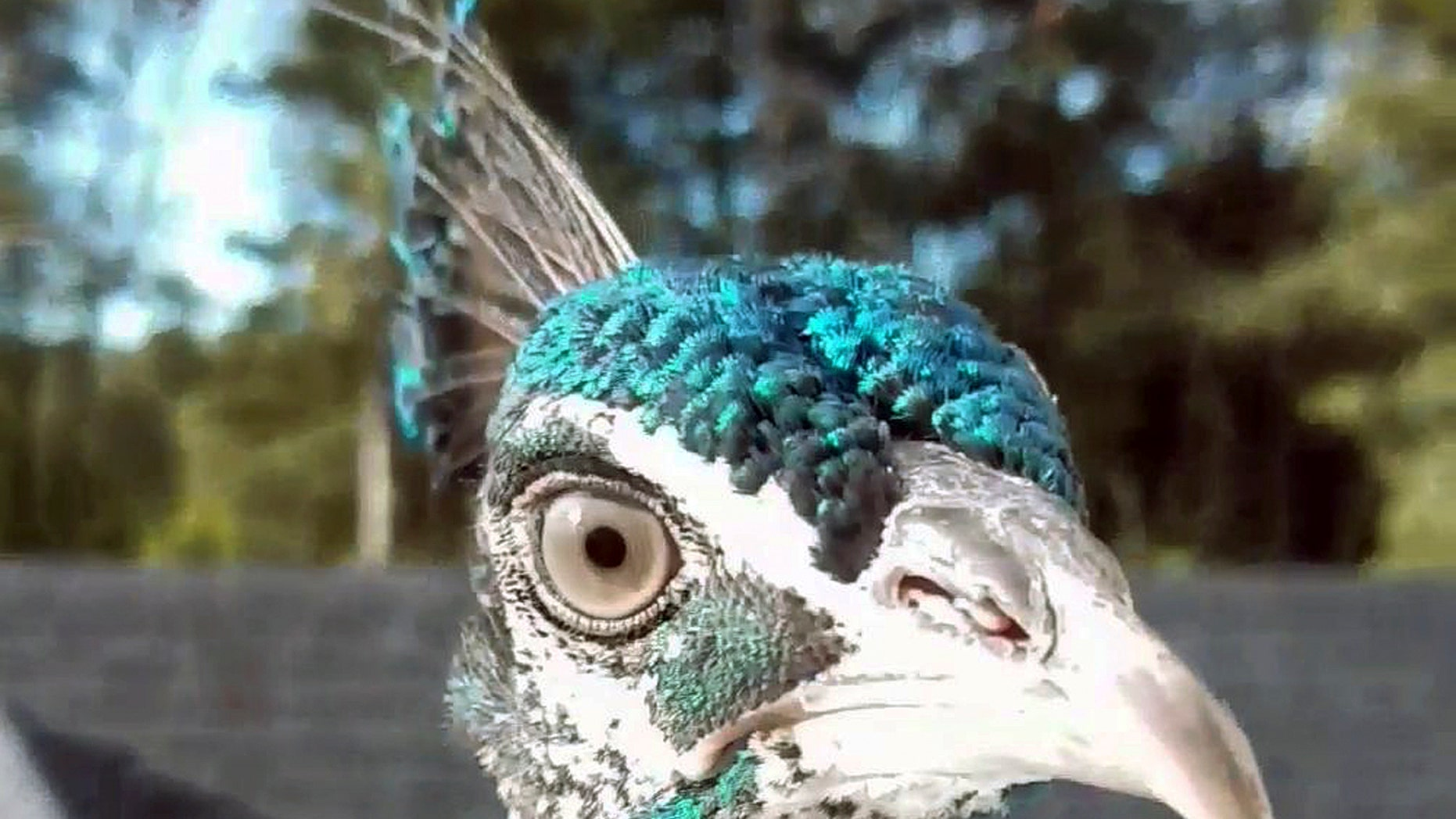 This undated photo taken from video provided by Rene Johnson, shows the peacock known as Pea.