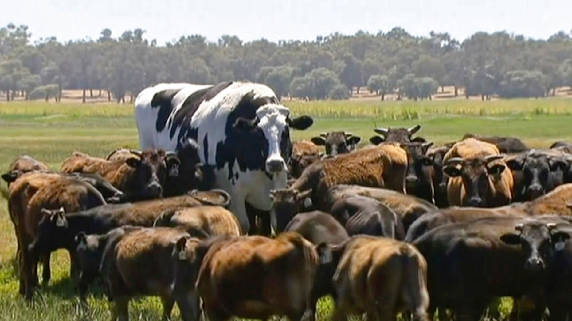 Knickers the steer is too beefy to become a burger