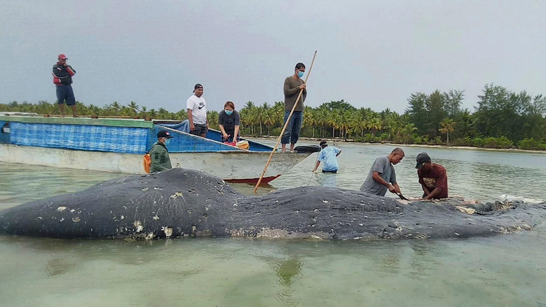 n this undated photo released by Akademi Komunitas Kelautan dan Perikanan Wakatobi (Wakatobi Marine and Fisheries Community Academy or AKKP Wakatobi), researchers collect samples from the carcass of a beached whale at Wakatobi National Park in Southeast Sulawesi, Indonesia.