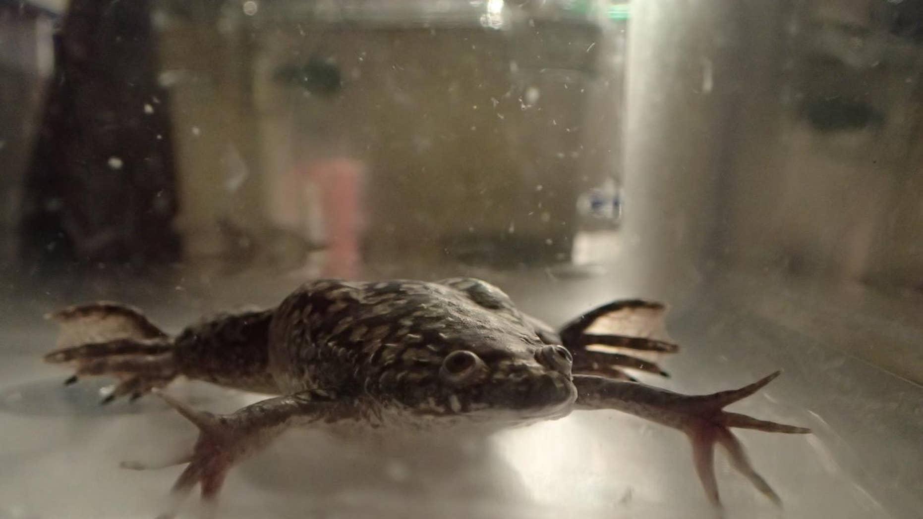 This image shows Xenopus laevis swimming in a tank pre-amputation. (Celia Herrera-Rincon/Tufts University)