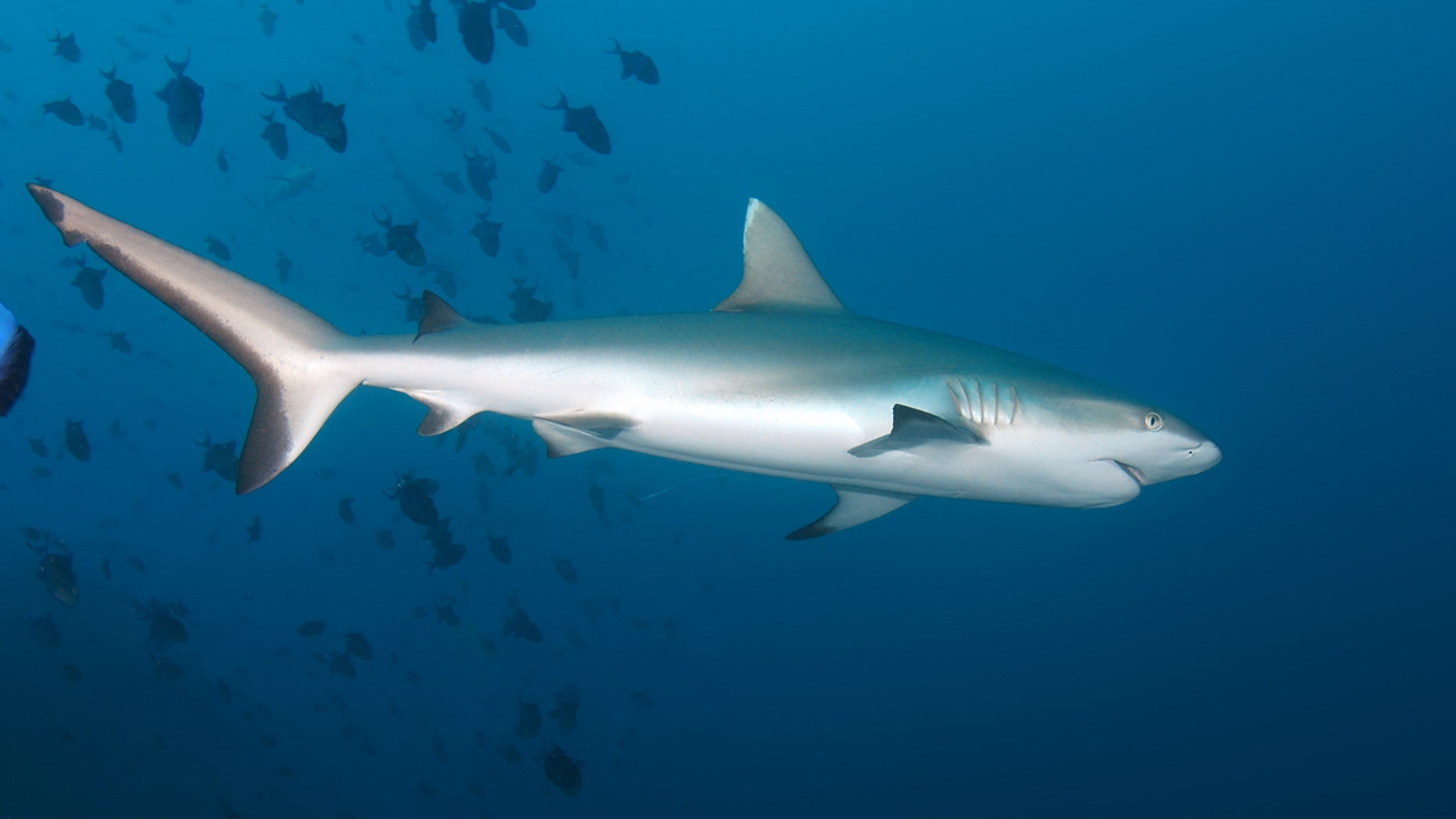 A gray reef shark, similar to the one that attacked a teenage boy in Australia, is seen above.