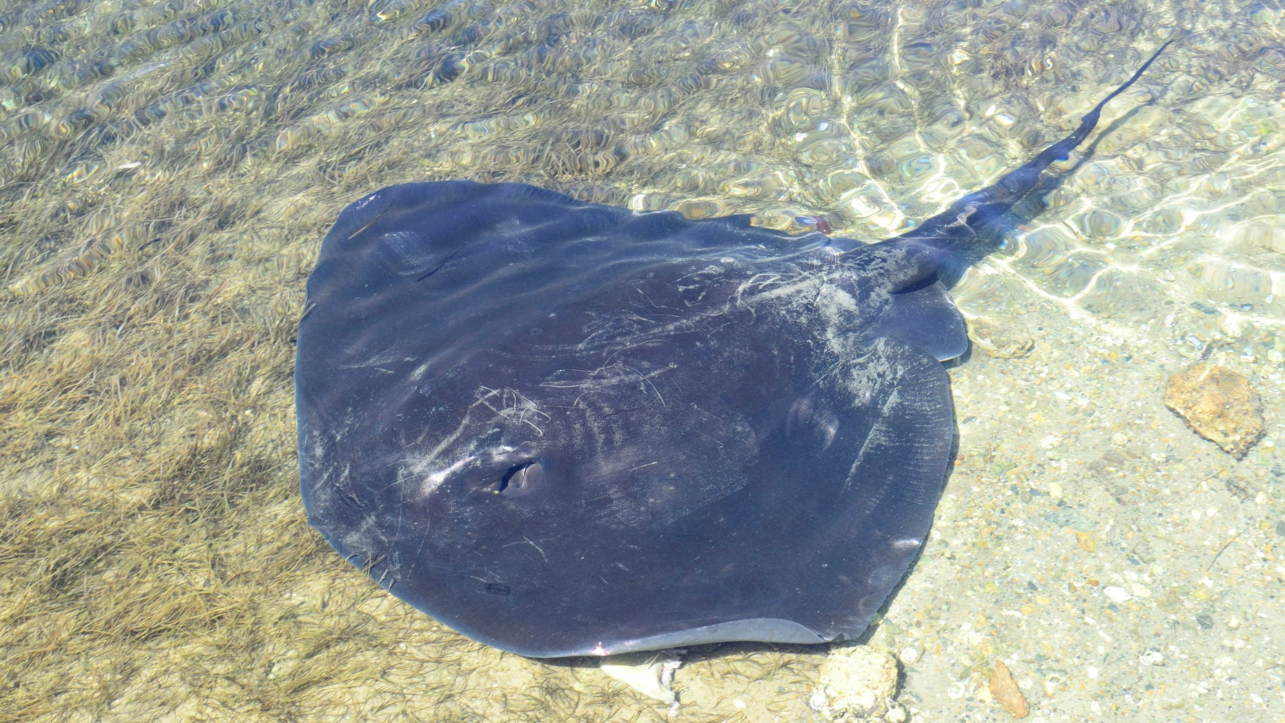 Swimmer dies after being stung by stingray in Australia