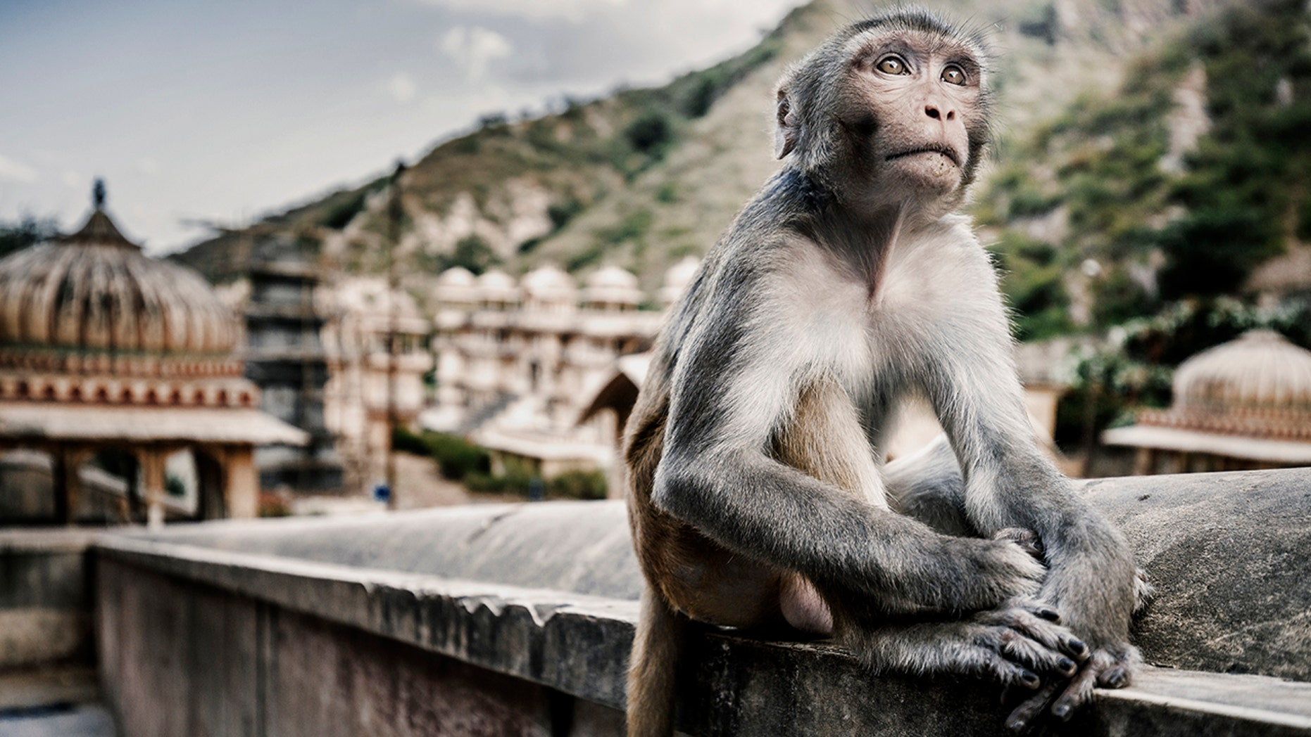 """The attack on the woman comes justdays aftera12-day-old baby was bitten to death by another monkey,on the outskirts of Agra, India.<br data-cke-eol=""""1"""">"""