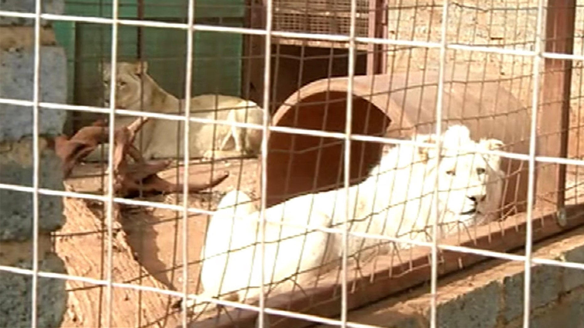 Mufasa, the three-year-old white lion, is currently in custody of the Rustenburg Wildlife Rehabilitation Centre. Its lawyer, in an online petition that has garnered more than 200,000 signatures, wrote that only 300 of his kind are left in the world, 13 of which exist in the wild.